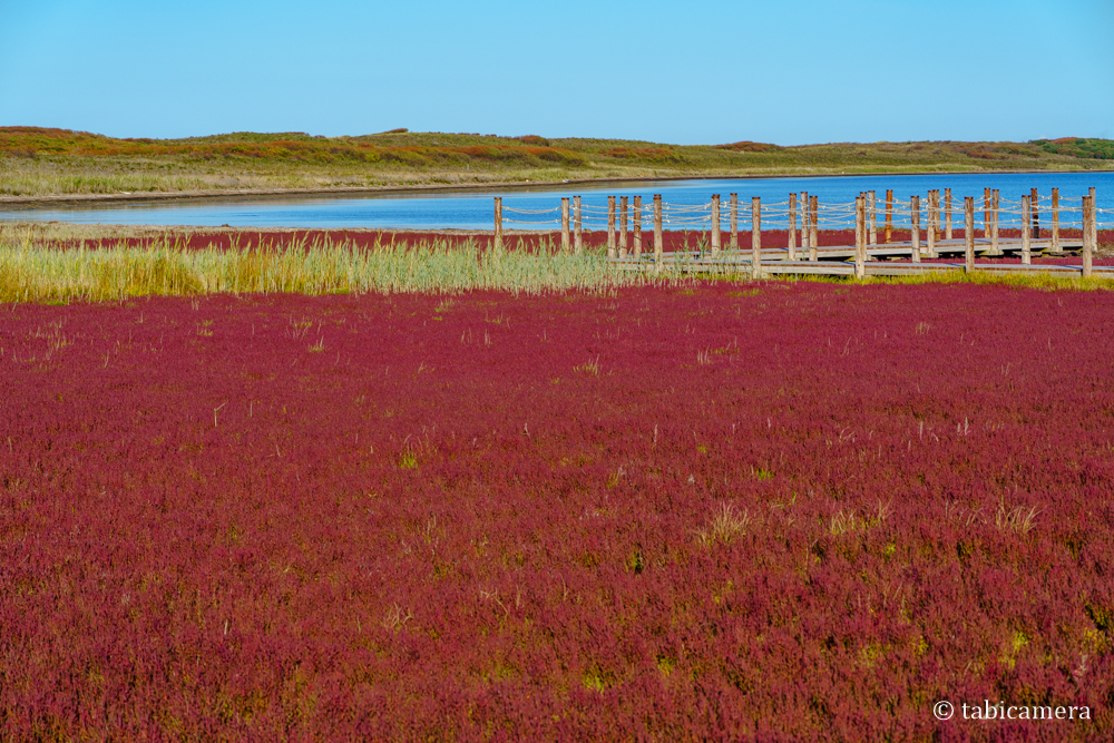 サロマ湖ワッカ原生花園のサンゴ草