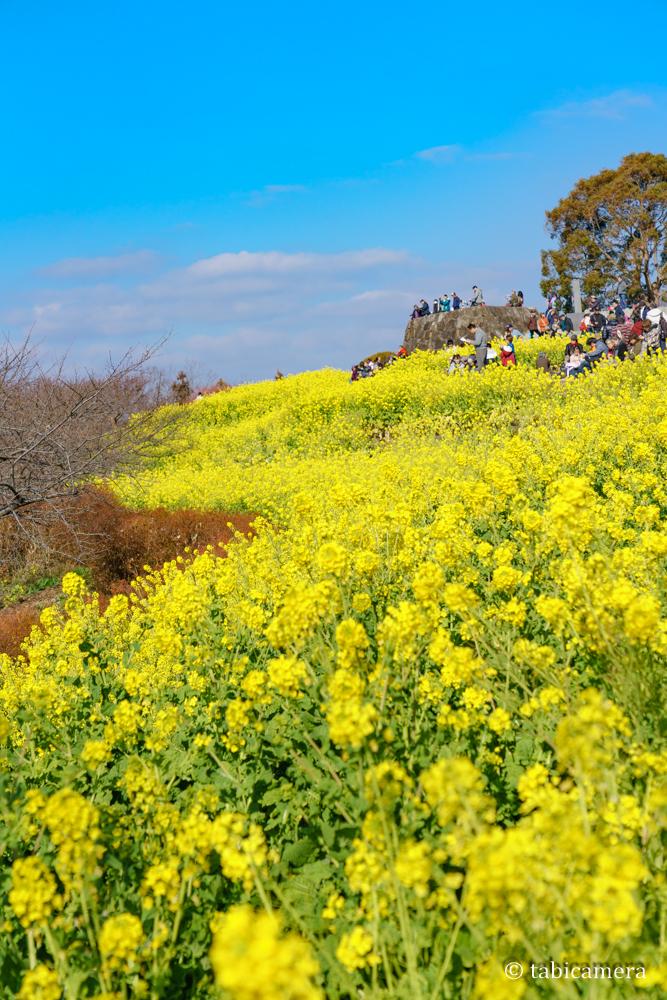 二宮町吾妻山の菜の花畑