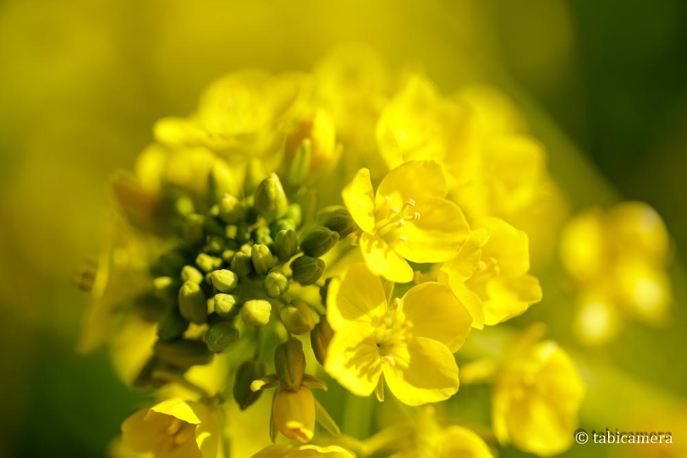 二宮町吾妻山の菜の花をマクロで