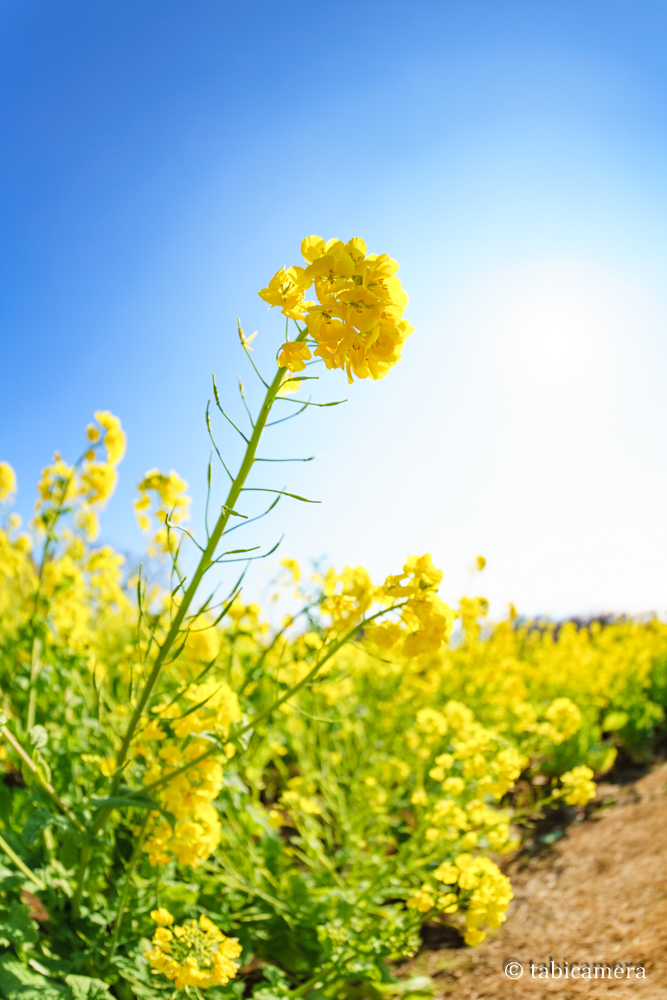 二宮町吾妻山の菜の花