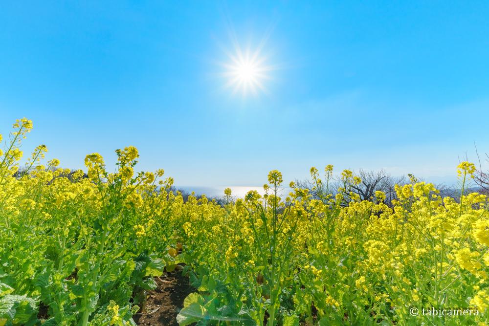 二宮町吾妻山の菜の花と太陽
