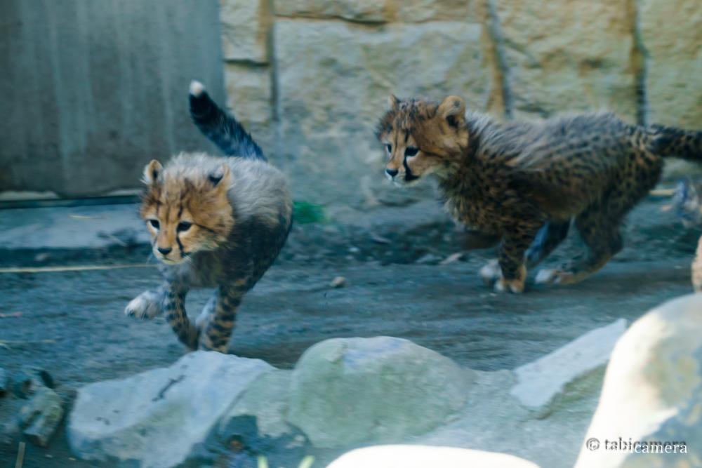 多摩動物園チーター子供