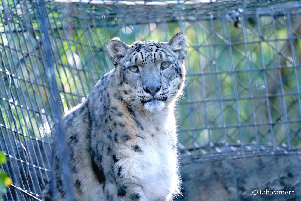 多摩動物園ユキヒョウ