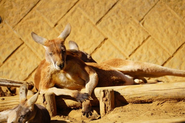 多摩動物園カンガルー