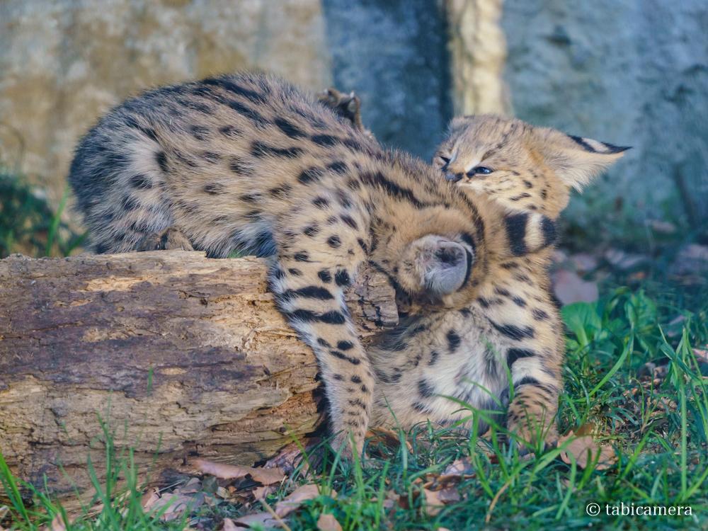 多摩動物園サーバル子供