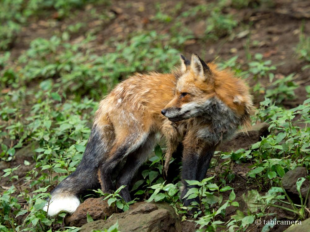 蔵王キツネ村の夏毛の狐