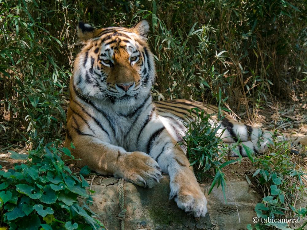多摩動物園トラ