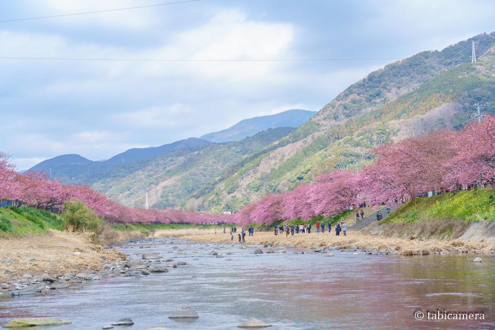 河津の河津桜と菜の花