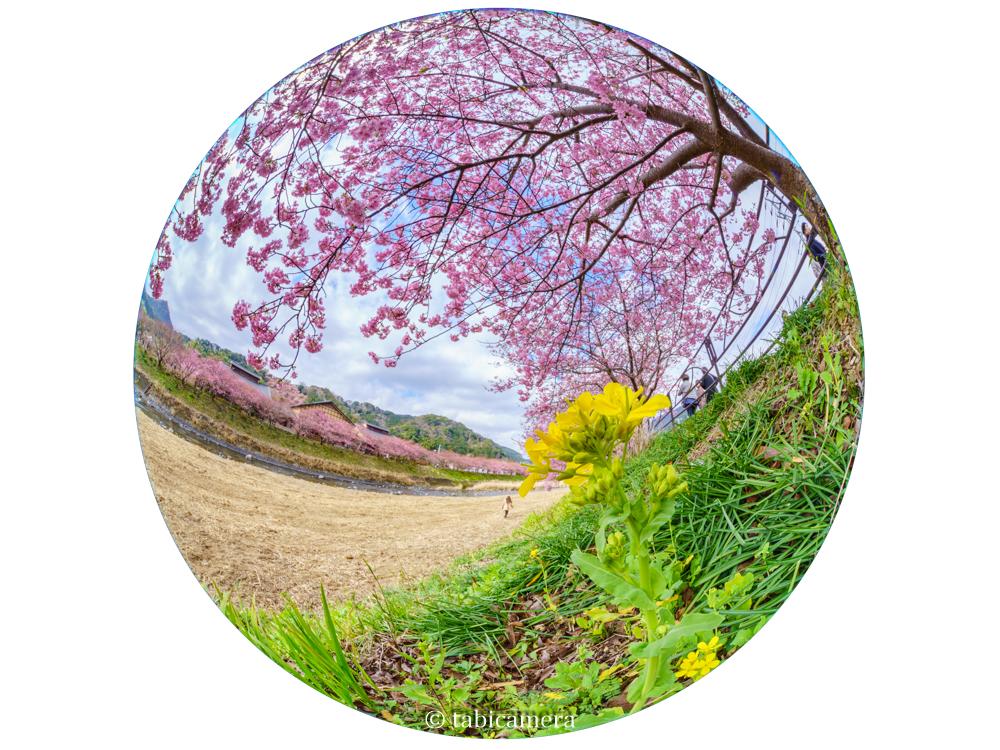 河津の河津桜の全周魚眼
