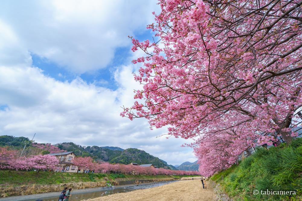 河津の河津桜