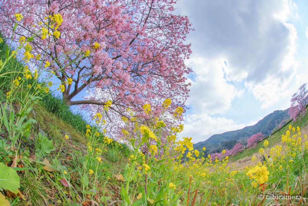 南伊豆町の河津桜と菜の花を魚眼で撮影