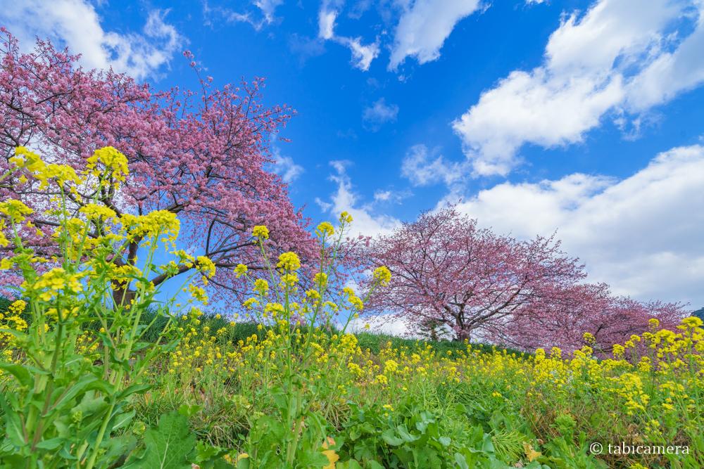 南伊豆町の河津桜と菜の花