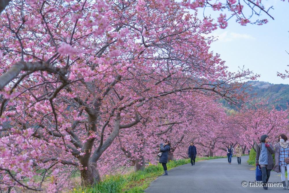 南伊豆町の河津桜の並木道