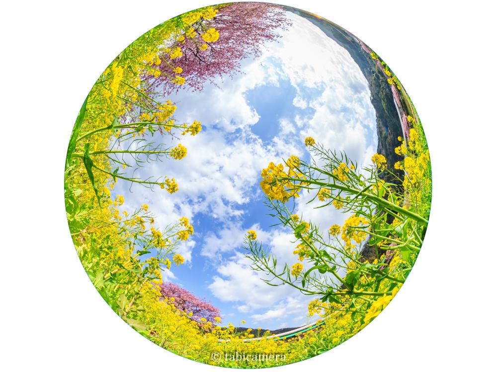 南伊豆町の河津桜と菜の花を全周魚眼で撮影