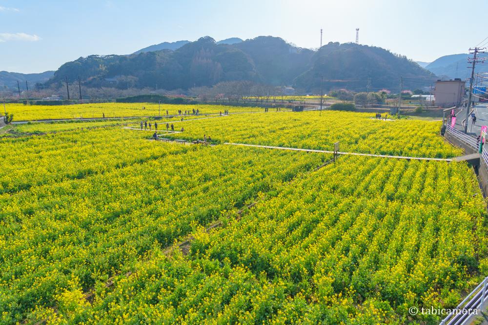 南伊豆町の菜の花畑