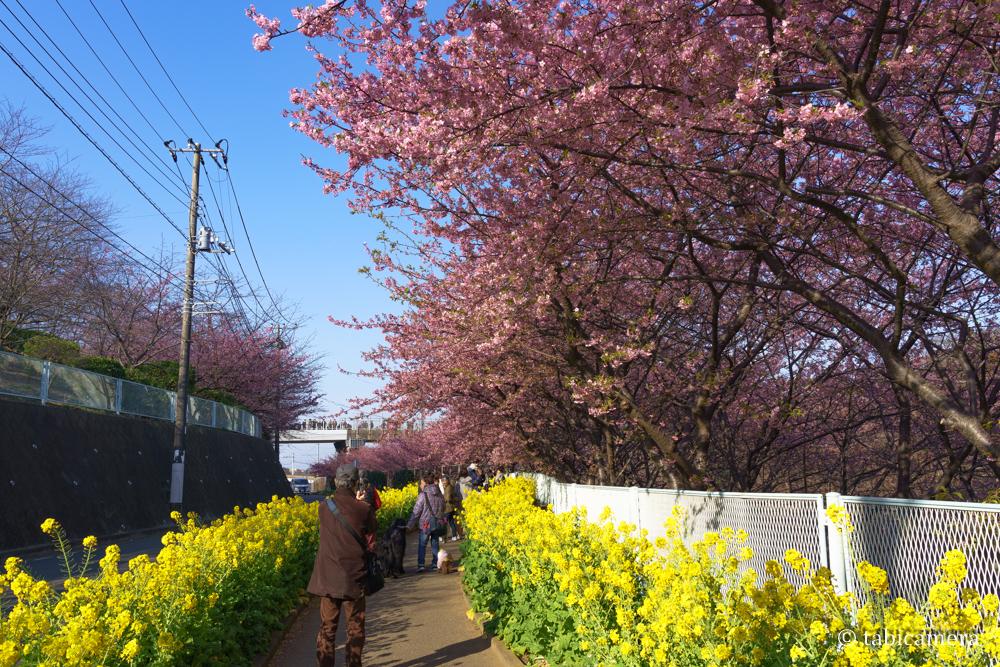 三浦海岸駅の菜の花と河津桜