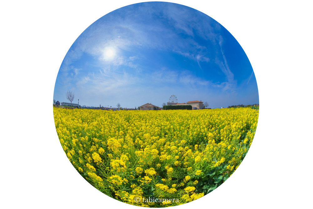 ソレイユの丘の菜の花畑を全周魚眼で撮影
