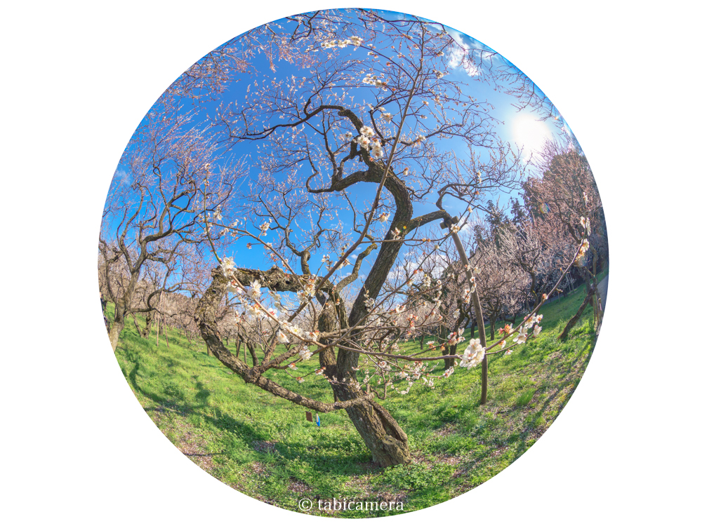 水戸の偕楽園の梅を全周魚眼で撮影