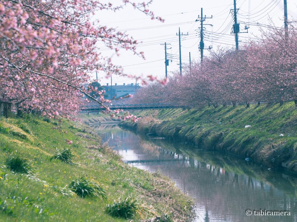 鷲宮の河津桜