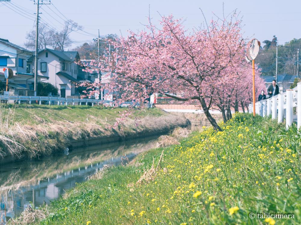 鷲宮の河津桜と菜の花