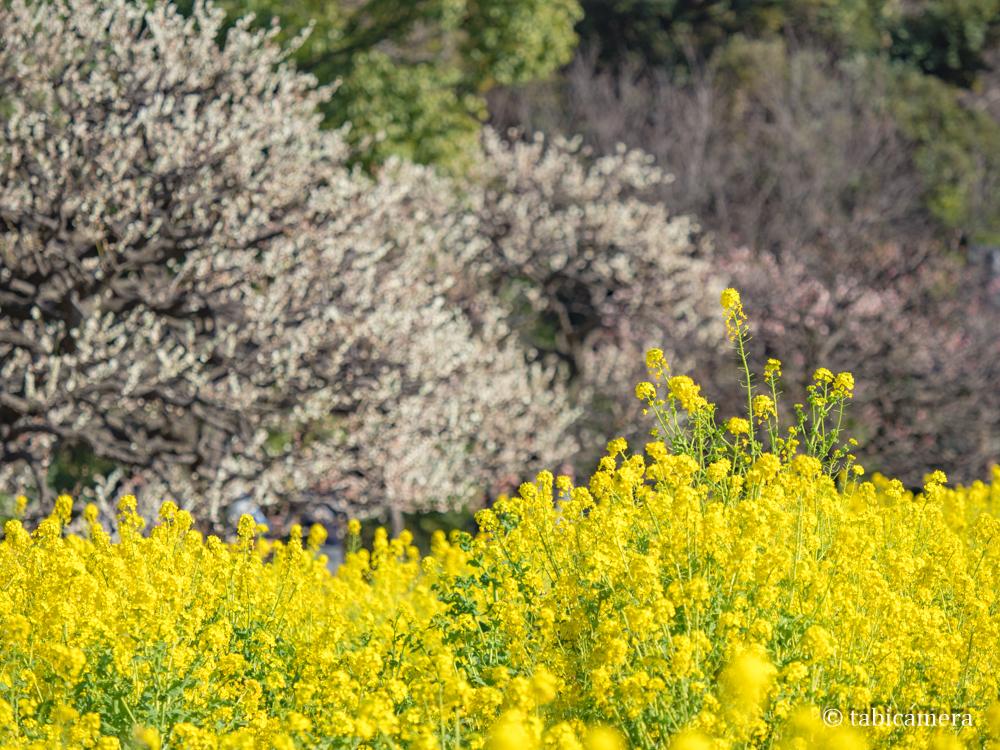 浜離宮の菜の花畑と梅