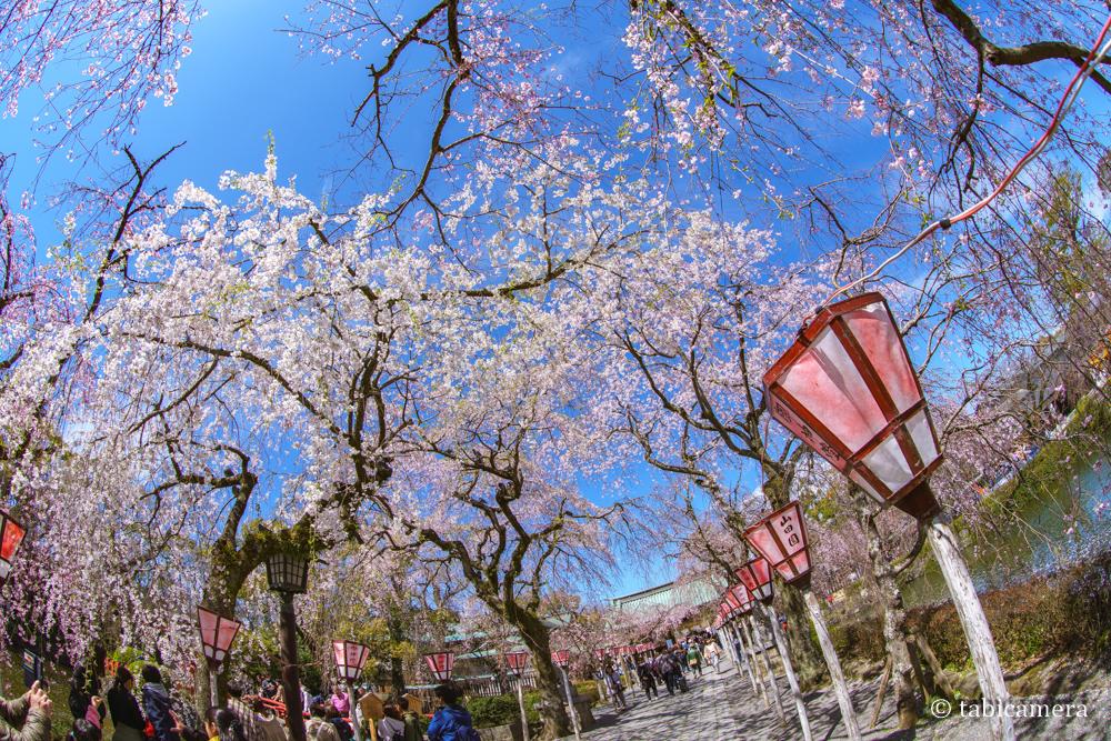 三島大社の桜並木