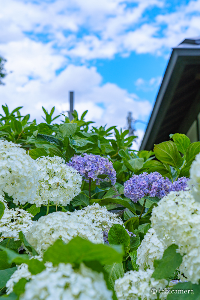 東京都文京区の白山神社の紫陽花