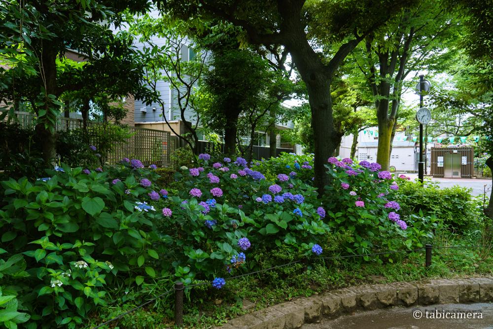 東京都文京区の白山公園の紫陽花