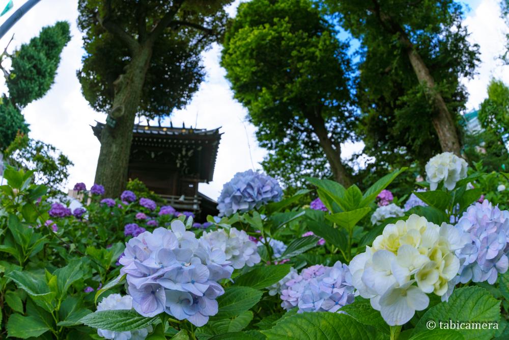 東京都文京区の白山公園の紫陽花を魚眼で