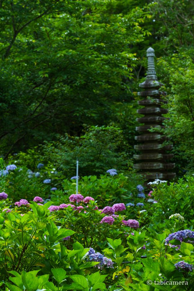 松戸本土寺の紫陽花