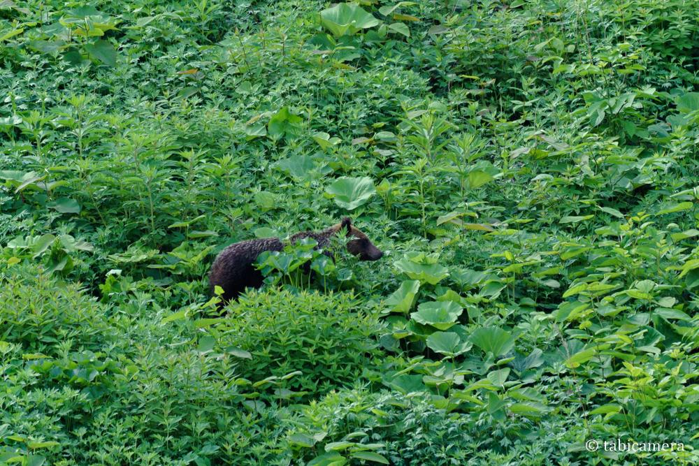 知床野生のヒグマ
