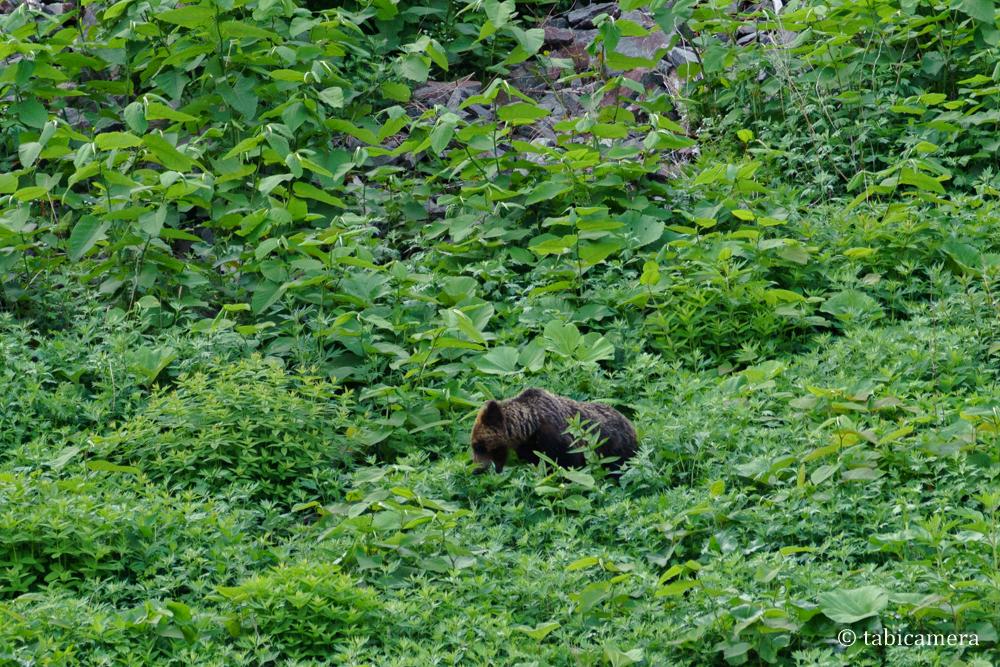 知床半島相泊発のヒグマクルーズの野生のヒグマ