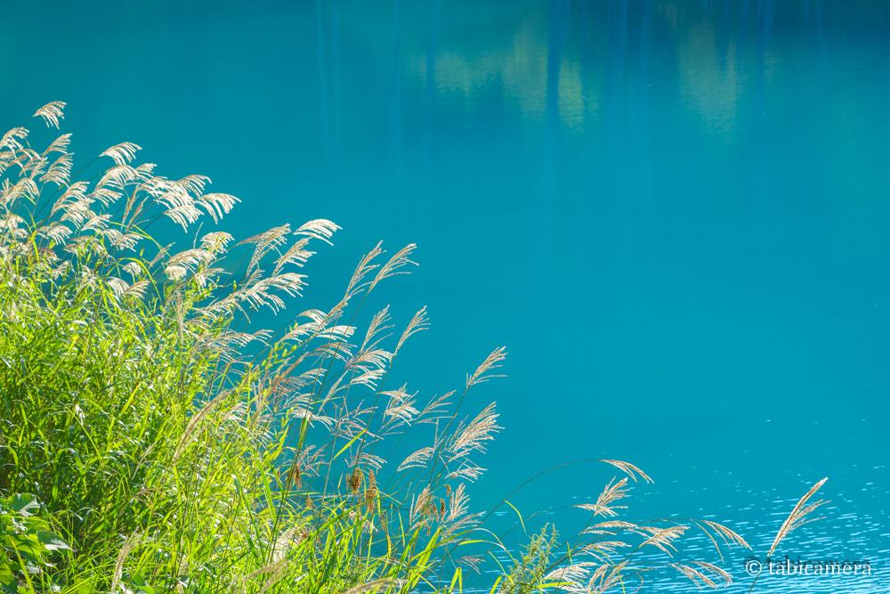 青い池とススキ
