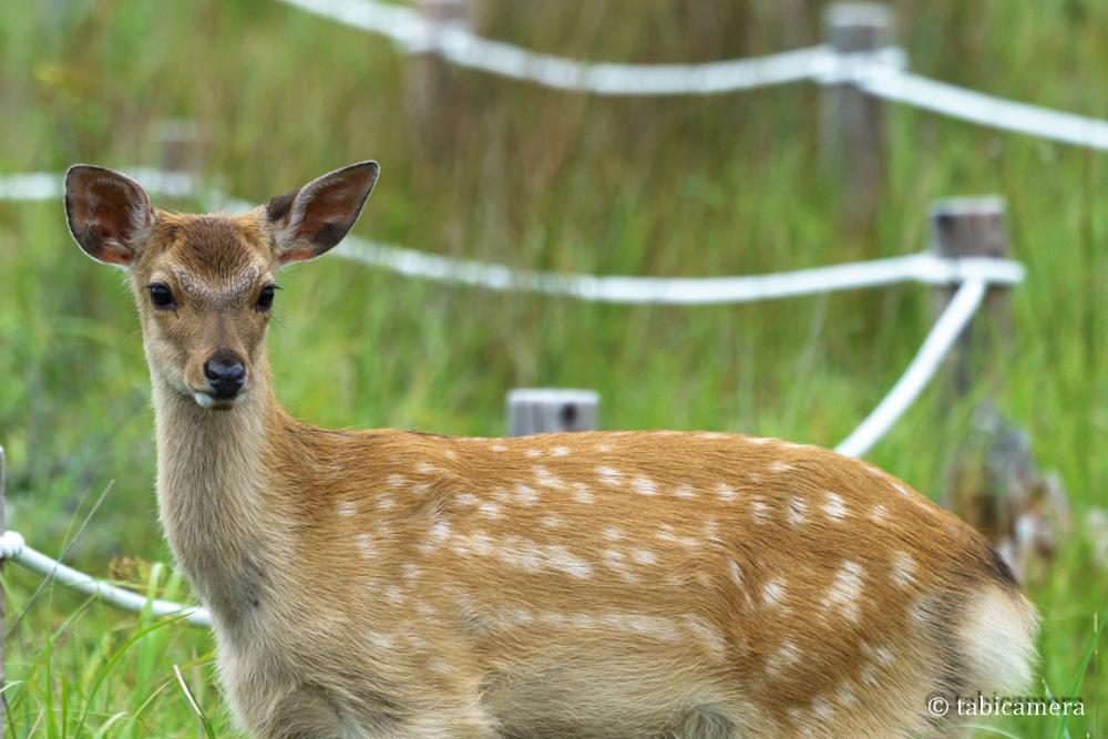 春国岱の小鹿