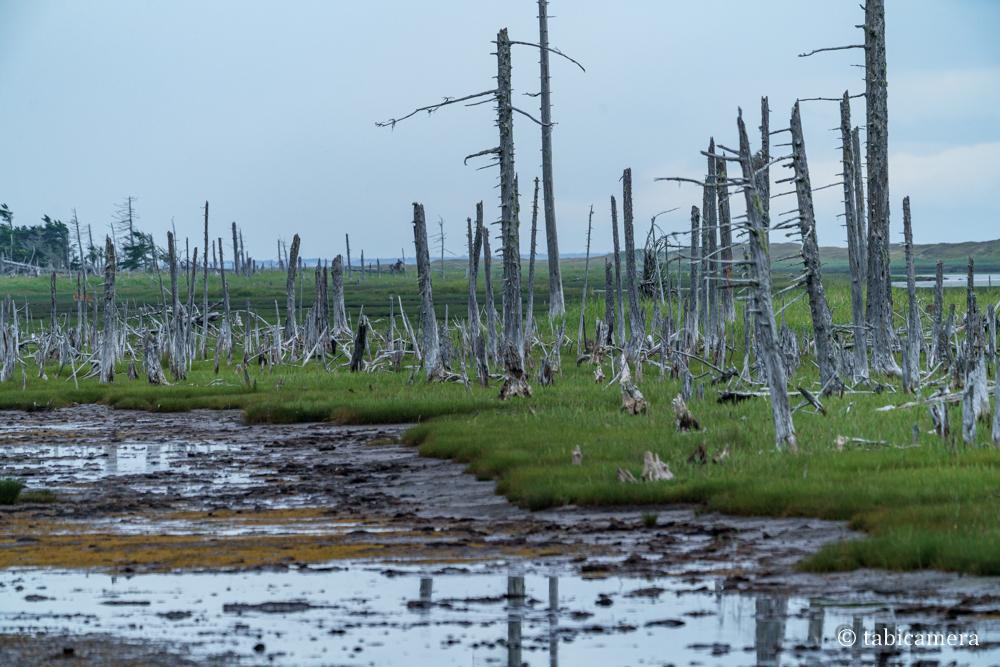 春国岱の塩生湿原と枯れ木