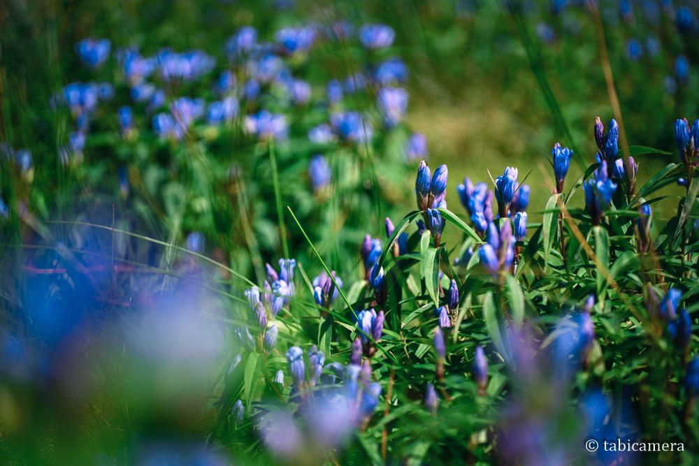 旭岳のリシリリンドウ