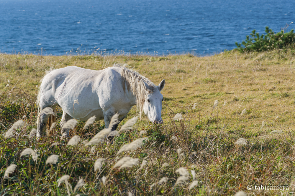 下北半島 尻屋崎の寒立馬